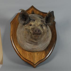 mounted stuffed pig's head, Tirpitz the Pig