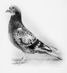 ANIMALS AT WAR: DICKIN MEDAL WINNING PIGEONS