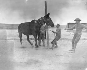Army Veterinary Corps staff tying an obstinate mule to a post before attempting to shoe the animal at a British Army veterinary hospital near Salonika, April 1916. THE BRITISH ARMY IN THE MACEDONIAN CAMPAIGN, 1915-1918