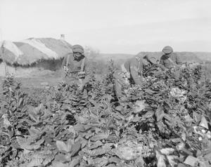 IWM photograph (Q 32577): Cyclists picking tobacco, Struma Front, November 1916; so shortly before the formation of 16th Corps Cyclist Battalion.