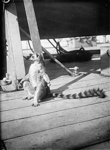ANIMALS AT WAR DURING THE FIRST WORLD WAR: ROYAL  NAVY MASCOTS