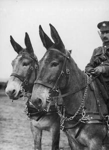 The pair of mules that won second prize at a Divisional Horse Show, Salonika, May 1916. THE SALONIKA CAMPAIGN 1915 - 1918