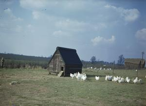KEEPING POULTRY IN BRITAIN, 1944