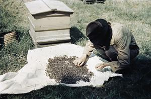 BEEKEEPING IN BRITAIN DURING THE SECOND WORLD WAR