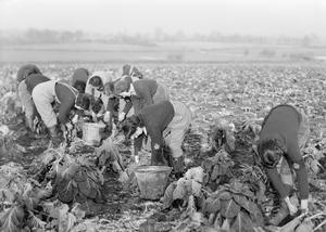 WOMEN'S LAND ARMY TRAINING AT CANNINGTON FARM, SOMERSET, ENGLAND, UK, c 1940