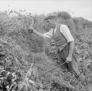 AGRICULTURE IN BRITAIN: LIFE ON MOUNT BARTON FARM, DEVON, ENGLAND, 1942