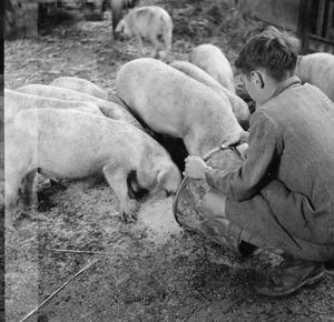 FARMER'S SON: LIFE ON MOUNT BARTON FARM, DEVON, ENGLAND, 1942