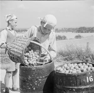 BOY SCOUTS PICK FRUIT FOR JAM: LIFE AT A FRUIT-PICKING CAMP NEAR CAMBRIDGE, CAMBRIDGESHIRE, ENGLAND, 1944