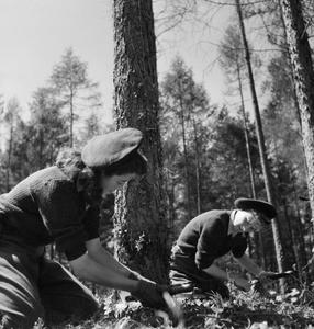 THEY LEARN TO BE LUMBERJILLS: WOMEN'S LAND ARMY FORESTRY TRAINING, CULFORD, SUFFOLK, 1943