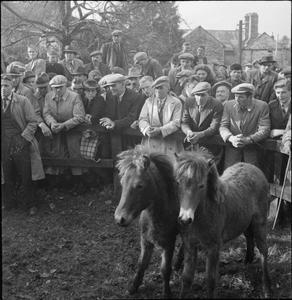 BAMPTON FAIR: PONY, SHEEP AND CATTLE SALES IN THE VILLAGE OF BAMPTON, DEVON, ENGLAND, UK, OCTOBER 1943