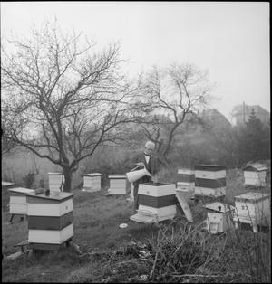 COMMUNITY GARDENING: WARTIME FOOD PRODUCTION AT ROWNEY GREEN, WORCESTERSHIRE, ENGLAND, UK, 1943