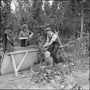 HOPPING IN KENT: HOP-PICKING IN YALDING, KENT, ENGLAND, UK, 1944
