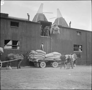 HOPPING IN KENT: HOP-PICKING IN YALDING, KENT, ENGLAND, UK, 1944