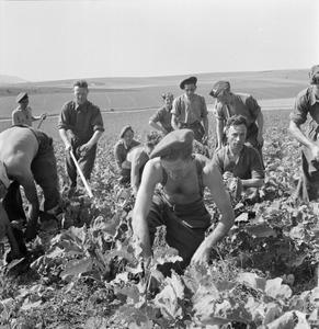 SOLDIERS WORKING ON THE LAND: HELPING WITH THE HARVEST, UK, JULY 1945