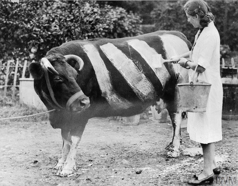 An Essex farmer has a herd of black cows and in case they should wander on the road after dusk, he is having them painted with white stripes so that they will be visible to the motorists.