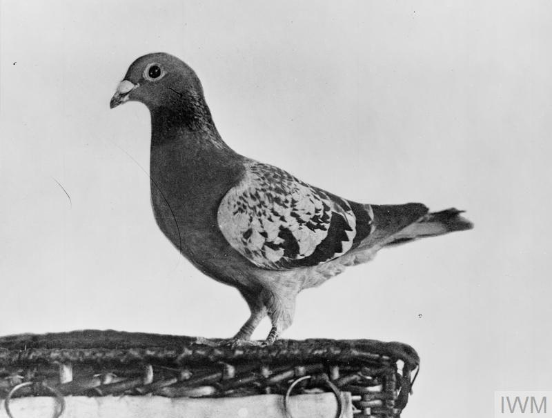 RAF pigeon which flew 22 miles in 22 minutes and enabled two wrecked seaplane pilots to be rescued.