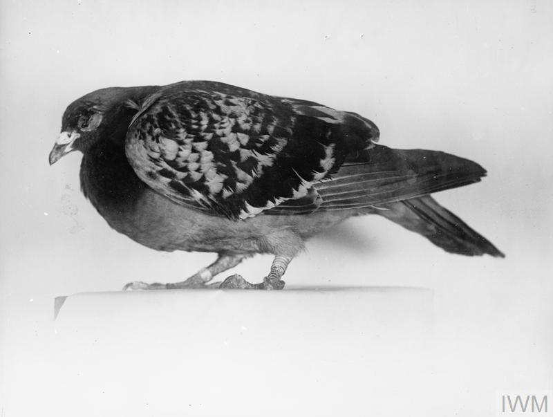Carrier pigeon, shot in left eye whilst carrying message from British seaplane attacked in the North Sea. The message was nevertheless delivered at the aerodrome.