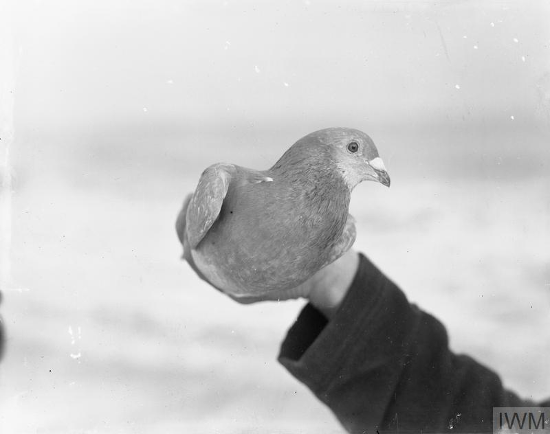 Pigeon No. 498 which Skipper Crisp sent for help when he was attacked by submarine. Crisp was killed but the bird delivered the message in time for help to be sent to the crew, although one wing was wounded by shrapnel.