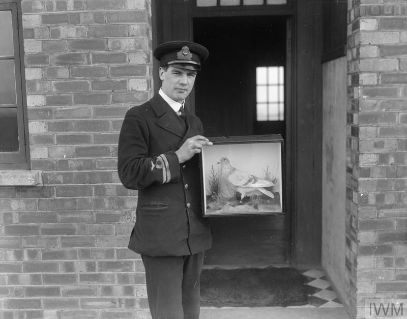 An officer holding a pigeon which saved four lives. The bird struggled against a gale with a message from four airmen who had come down in the sea. The pigeon died from exhaustion upon arrival.