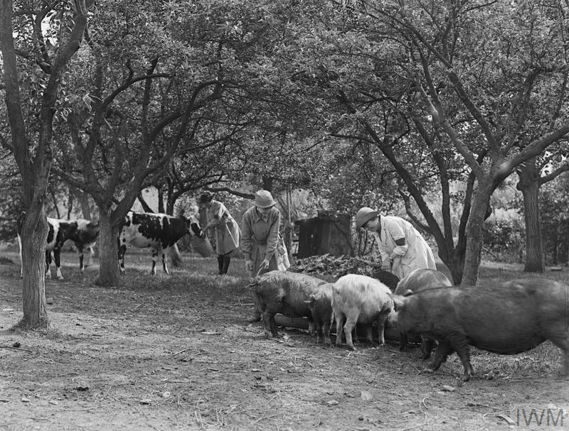 Members of the Women's Land Army feeding pigs and calves.
