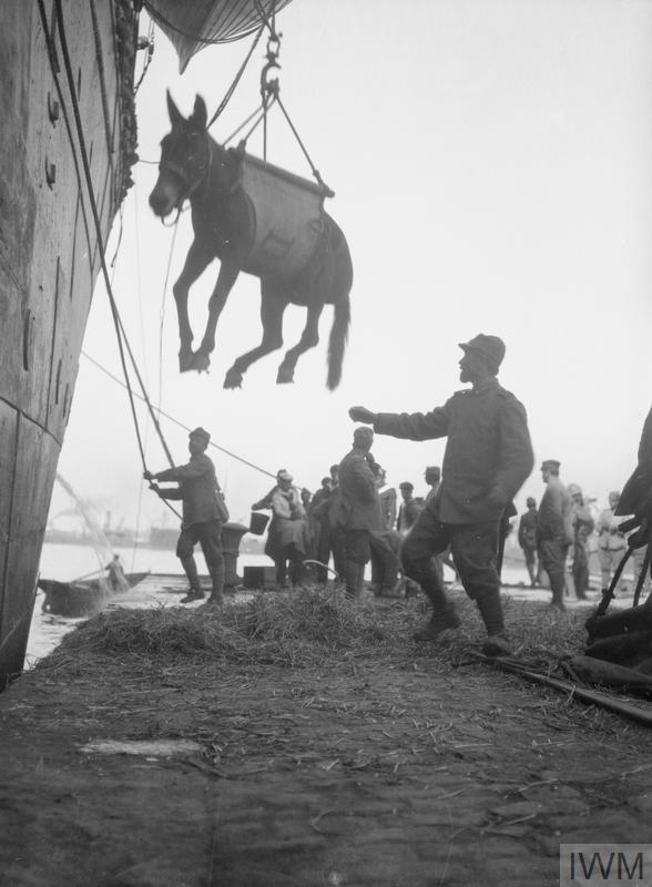 Italians landing mules at Salonika, October, 1916.