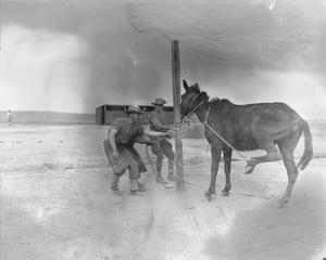 Army Veterinary Corps staff tying an obstinate mule to a post before attempting to shoe the animal at a British Army veterinary hospital near Salonika, April 1916. THE SALONIKA CAMPAIGN 1915 - 1918