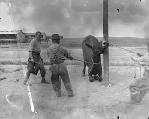 Army Veterinary Corps staff preparing to shoe a mule at a British Army veterinary hospital near Salonika, April 1916. THE SALONIKA CAMPAIGN 1915 - 1918