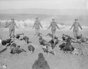 Turkeys reared for the mess by British troops, Salonika, December, 1916.