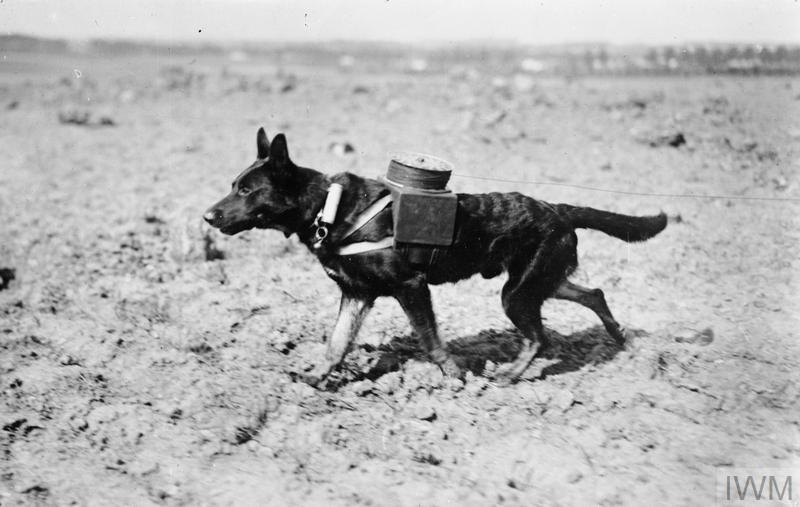A German dog, fitted with apparatus for laying telephone wires, walking across muddy ground. The telephone wire is clearly visible stretching out behind the dog from the container carried on its back.