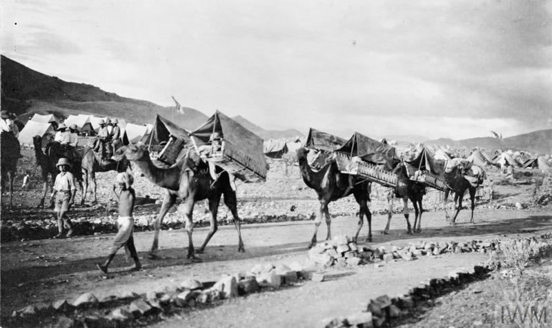 Camels in India in the First World War, fitted with carriers to transport wounded.