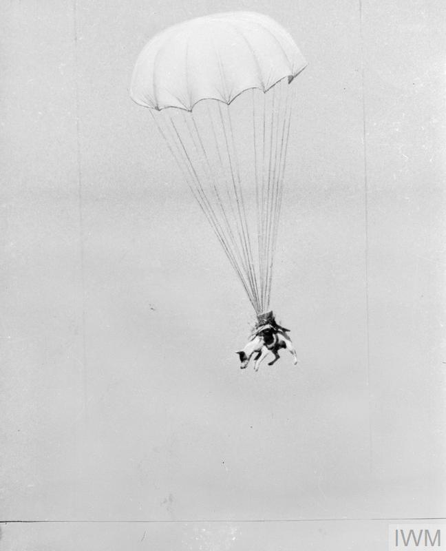 'Salvo', the 'Paradog' completing a parachute jump during training at Andrews Field, near Great Saling, Essex.