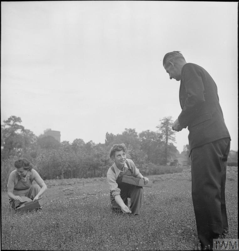Curator of Kew Gardens, Mr Campbell, oversees the harvesting of seeds from the camomile lawn by members of the Women's Land Army. The camomile was planted at the request of the Ministry of Home Security to be used as a quick-growing, wiry camouflage for new airfields.