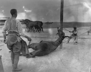 Army Veterinary Corps staff preparing to shoe a mule at a British Army veterinary hospital near Salonika, April 1916. ANIMALS DURING THE FIRST WORLD WAR