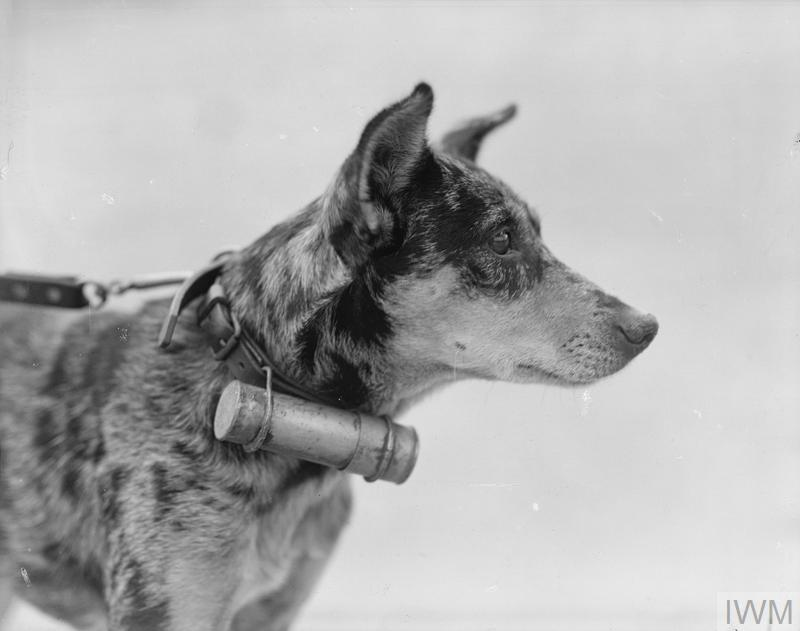WWI messenger dogs and their handlers. | War dogs ... |Wwi Messenger