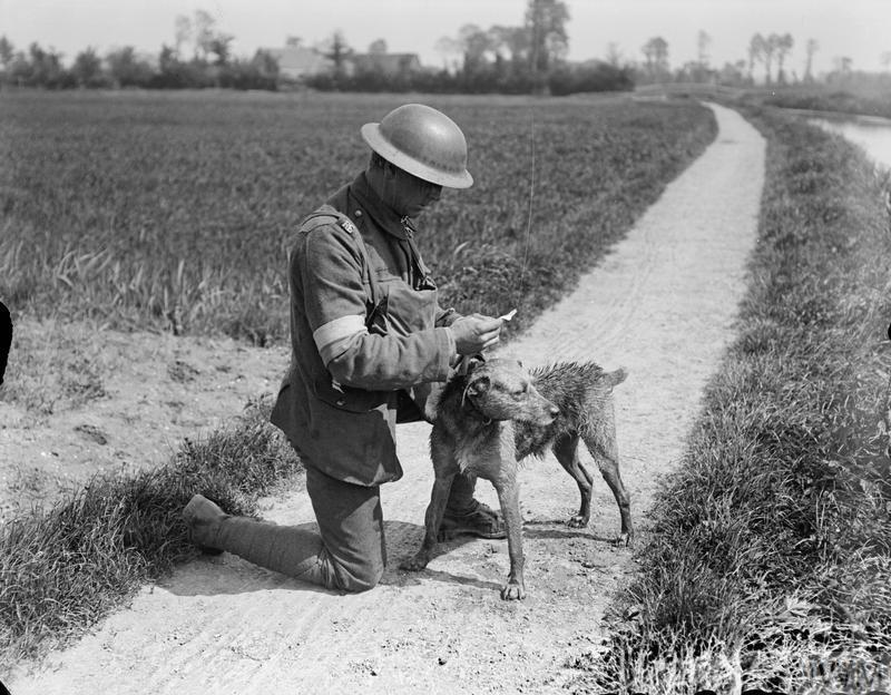 A dog handler of the Royal Engineers (Signals) reading the message that has just been brought to him by his messenger dog. The dog swam across the canal to deliver the message and still looks quite wet. The photograph was taken at a Army Veterinary Corps HQ Kennel near Nieppe Wood, 19 May 1918.