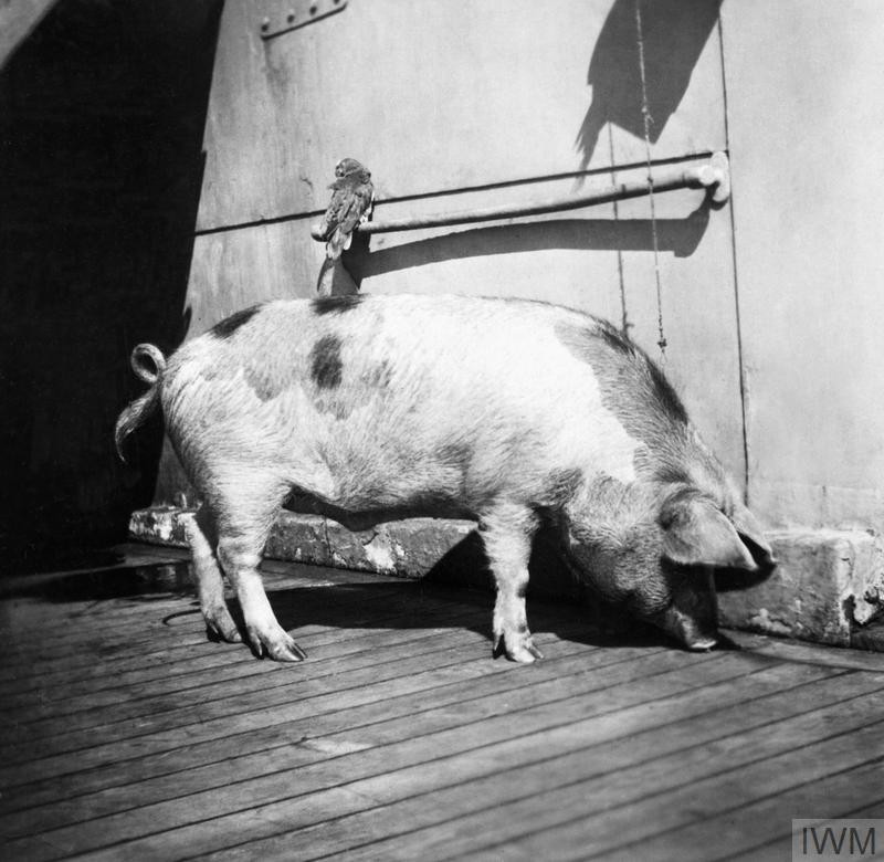 The crew of HMS Glasgow named this pig Tirpitz, after the German Admiral Alfred von Tirpitz.